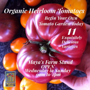Organic Heirloom Tomatoes at Maya's Farm